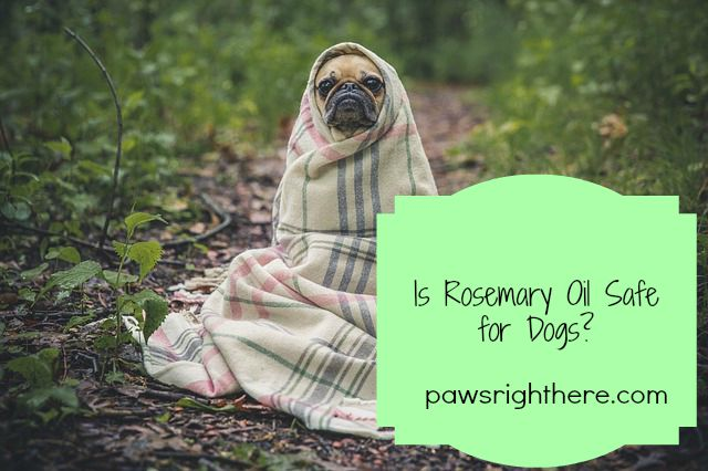 rosemary oil for dogs